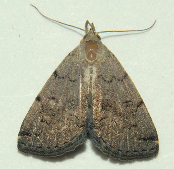 Zanclognatha theralis