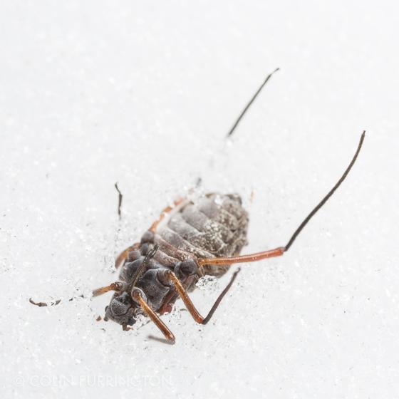 Hemipteran in snow (Longistigma caryae?) - Longistigma caryae