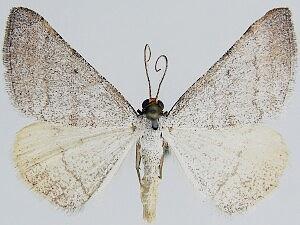Taeniogramma tenebrosata - Hodges #6425 - Taeniogramma tenebrosata - male