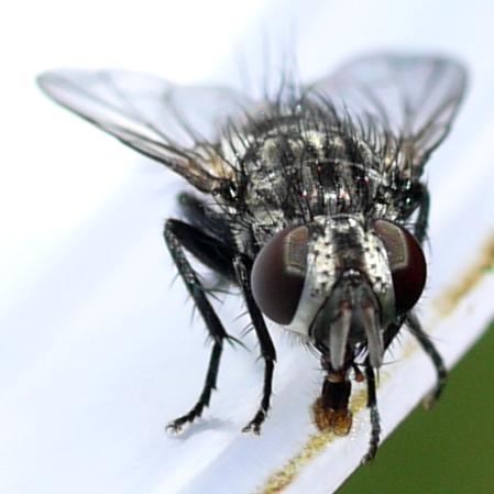 fly - Phorocera