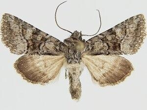 Pseudanarta daemonalis - Hodges #9613 - Pseudanarta daemonalis - male