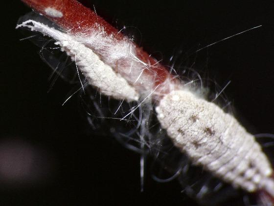 Striped mealybug - Ferrisia virgata - Ferrisia virgata