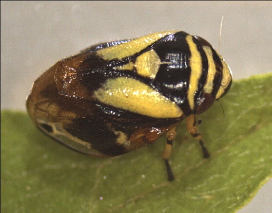 Dogwood spittlebug - Clastoptera proteus