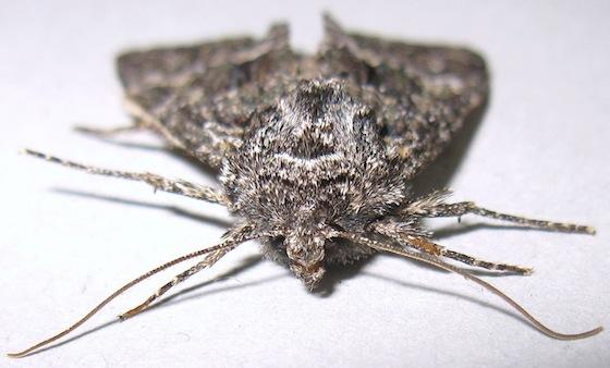 Platypolia loda - female