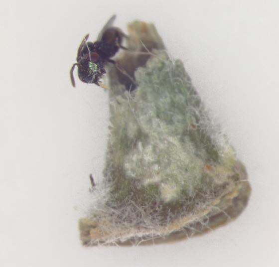 Cecidomyiidae, gall on Lead Plant, wasp emerge
