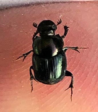 Onthophagus orpheus?