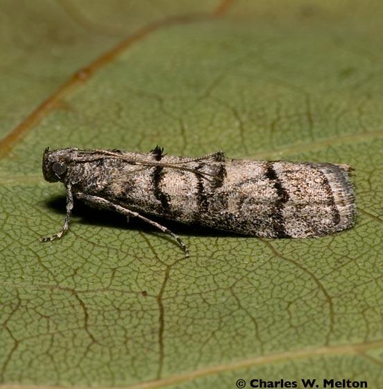 Moth - Dioryctria subtracta