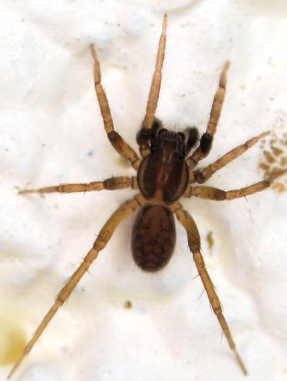 Spider - Trabeops aurantiacus - male
