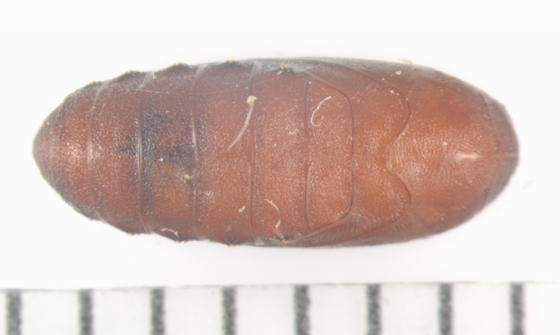 Elachistidae on Puccoon, pupa, dorsal - Ethmia longimaculella
