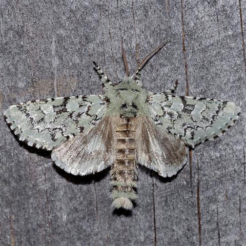 Major Sallow Moth? - Feralia major