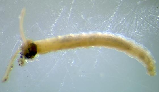 Fungus gnat attacked by fungi