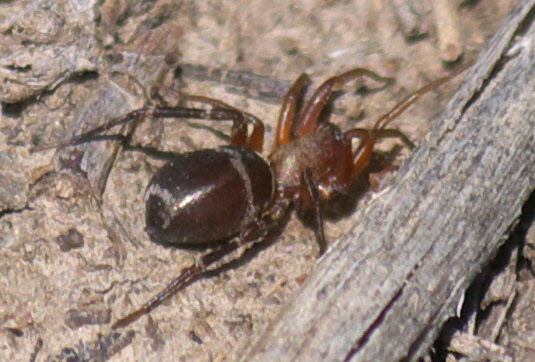 Ant Mimic Spider - Micaria