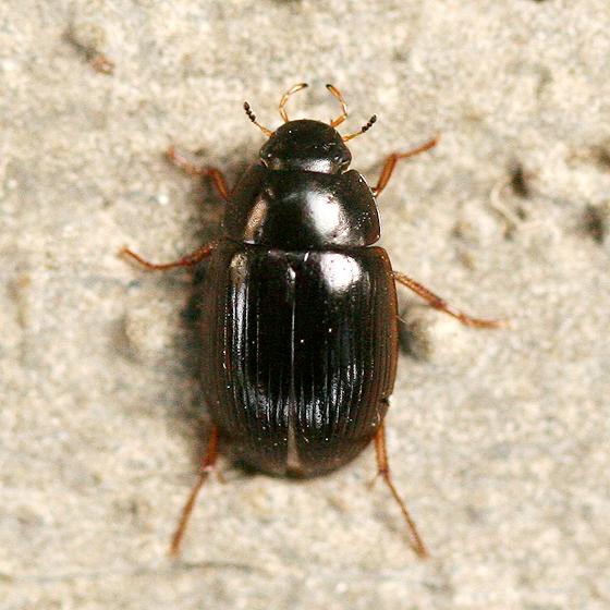 Small Black Beetle   Hydrobius fuscipes. Small Black Beetle   Hydrobius fuscipes   BugGuide Net