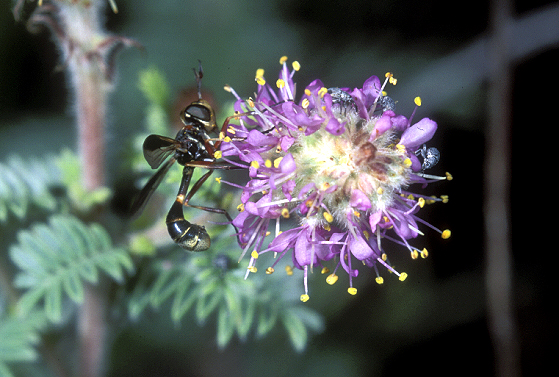 Wasp or Syrphid Fly - Physoconops brachyrhynchus - male