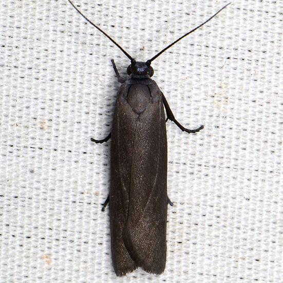 Bumelia Webworm Moth - Urodus parvula