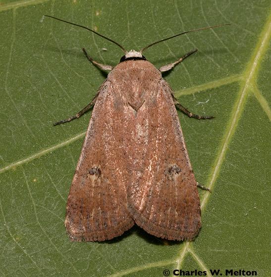 Moth - Anicla biformata