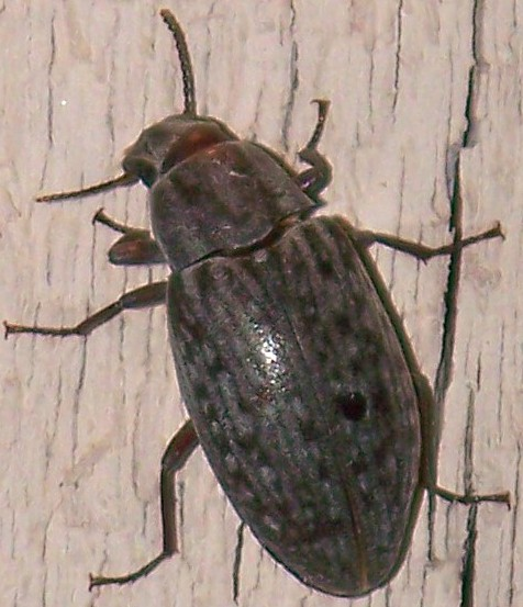 Beetle sp. - Pechalius