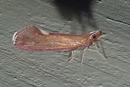 small winged insect - Apache degeeri