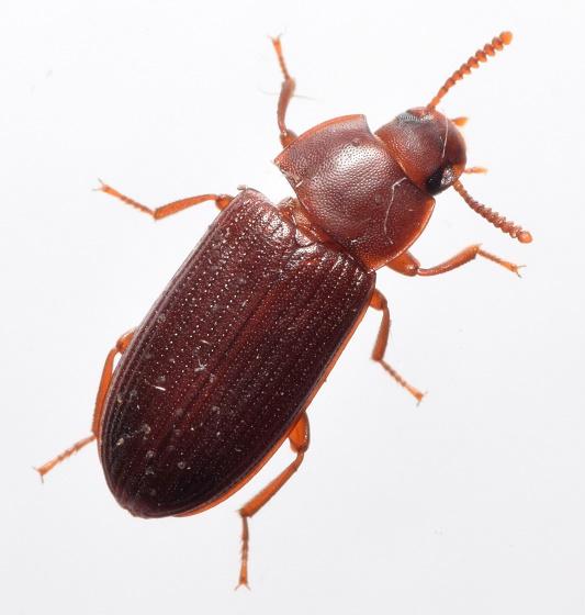 Uloma? - Cynaeus angustus