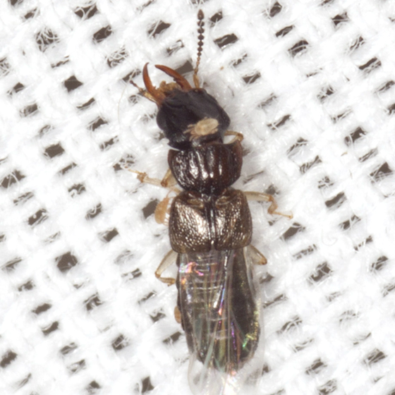 Spiny-legged Rove Beetle - Anotylus insignitus