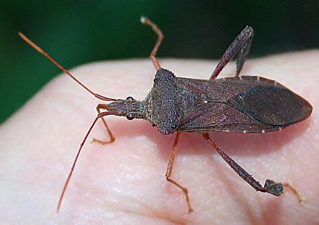 Leaf-footed Bug - Leptoglossus fulvicornis