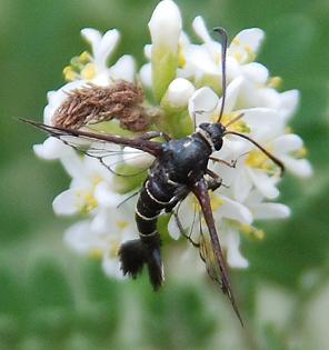 Small clearwing moth--Albuna sp? - Carmenta phoradendri