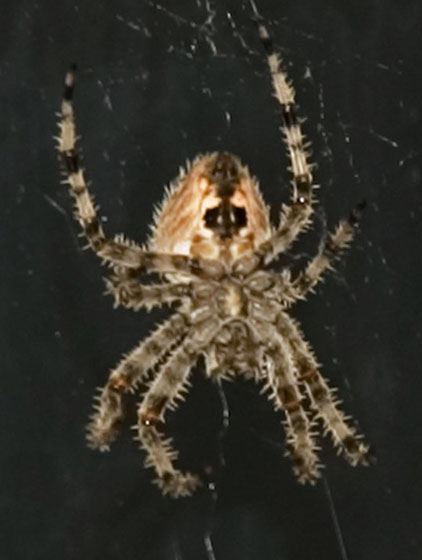 What Type of Spider is this? - Araneus