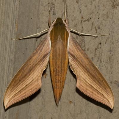 Tersa Sphinx Moth - Hodges #7890 - Xylophanes tersa