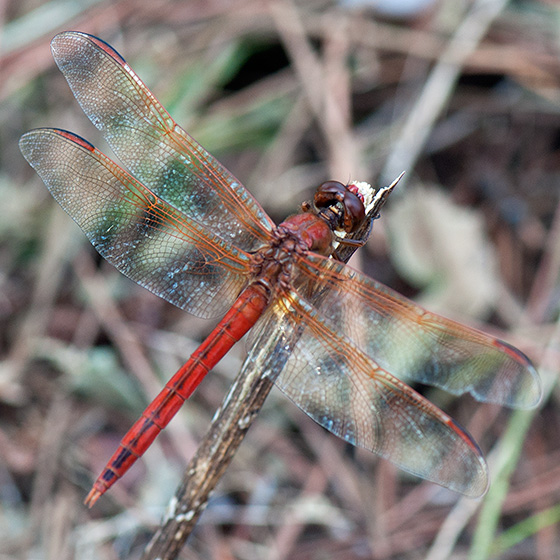 Golden-winged or Needhams'? - Libellula needhami - male