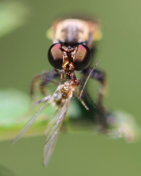 Robber Fly with Prey - Eudioctria sackeni