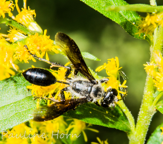 Grass-carrying Wasp - Isodontia mexicana - male