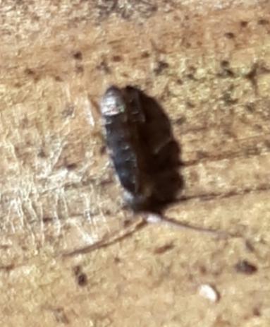 Tomoceridae Springtail?