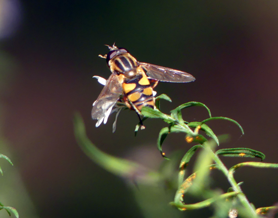hoverfly sp - Helophilus fasciatus - male