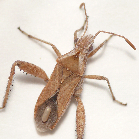 Broad-headed bug - Stachyocnemus apicalis