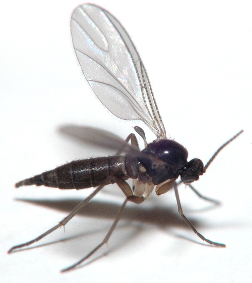 Dark-winged fungus gnat?
