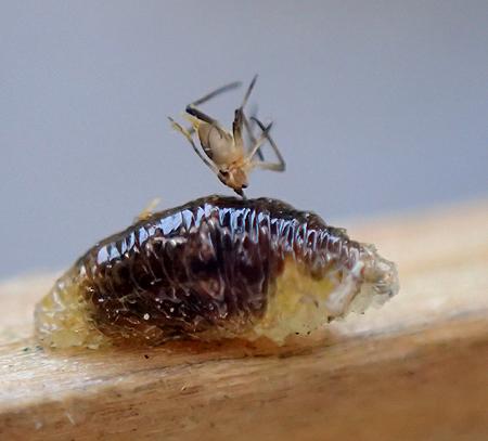 larva (Diptera?) with gratuitous exuvia (aphid?)