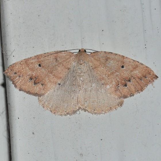 Moth - Drepanulatrix monicaria