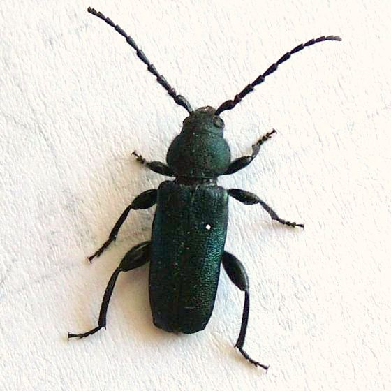 House Beetle - Callidium texanum