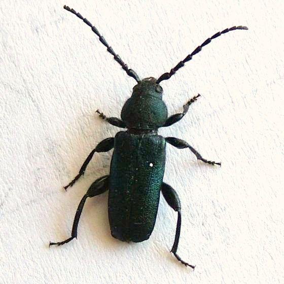 House Beetle - Callidium texanum