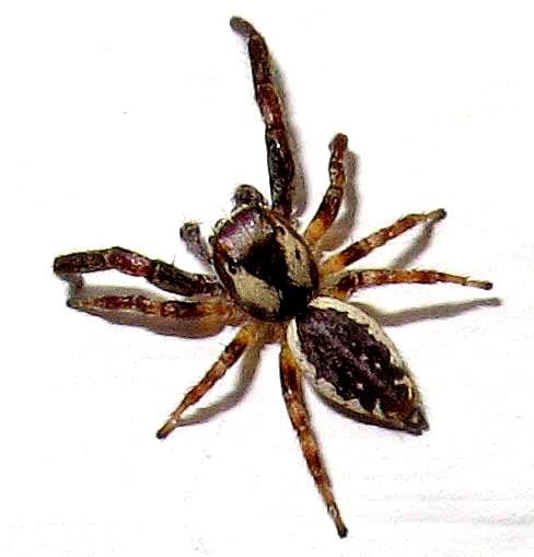 Phanias male - Phanias albeolus - male