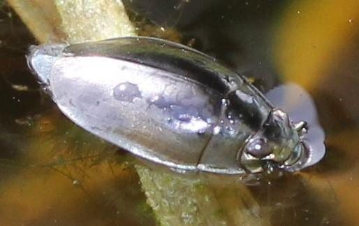 Gyrinidae - Dineutus