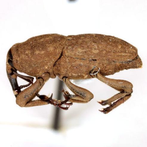 Sphenophorus bartramiae Chittenden - Sphenophorus bartramiae