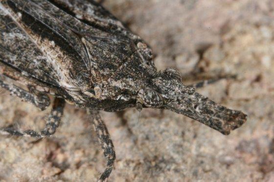 Possible Fulgoroid - Scolopsella reticulata