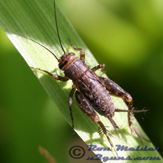 Cricket 02 - Neonemobius near-to-mormonius - female