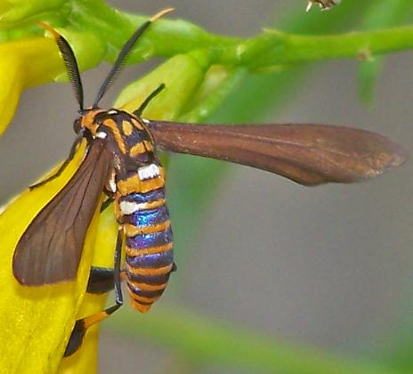 Horama panthalon (Texas Wasp Moth) - Horama panthalon