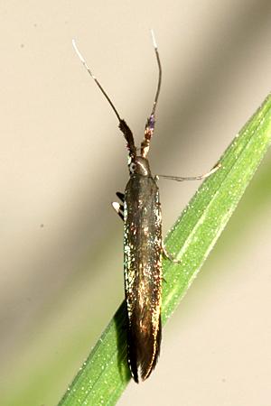 Moth - Coleophora