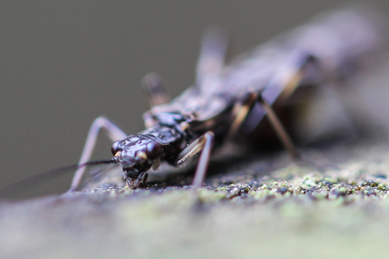 Female Plecoptera with Eggs - female