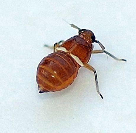 Pissonotus binotatus