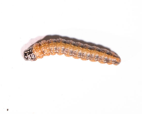unknown caterpillar - Omphalocera cariosa