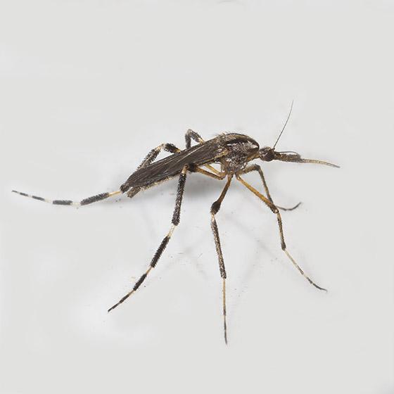 Large mosquito with striped legs - Psorophora ciliata - female